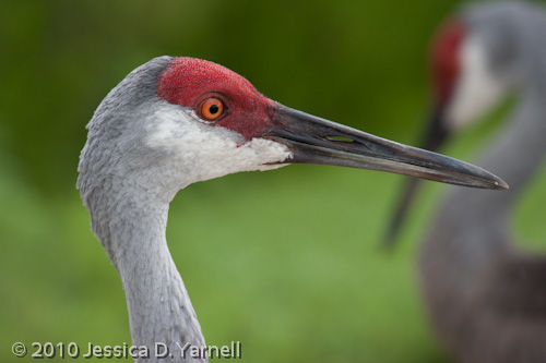Adult Sandhill Crane headshot