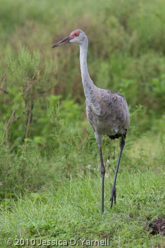 Juvenile Sand Hill Crane