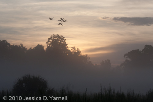 Sand Hill Cranes flying over Eagle Roost at sunrise