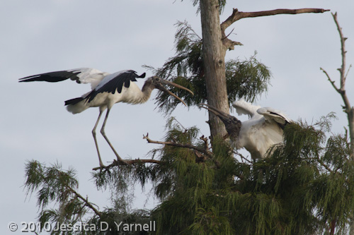 Wood Stork interaction