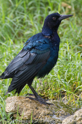 Molting Boat-Tailed Grackle
