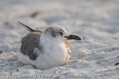 Laughing Gull - comfort first