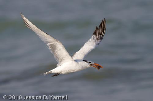 Royal Tern with fish