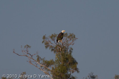 Bald Eagle (400mm lens alone, effective 640mm)