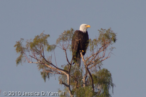 Bald Eagle (400mm lens + 2 stacked 1.4x teleconverters, effective 1254mm)