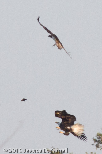 Bald Eagle and Osprey