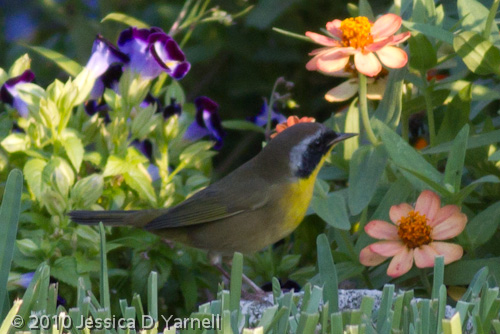 Zorro the Common Yellowthroat