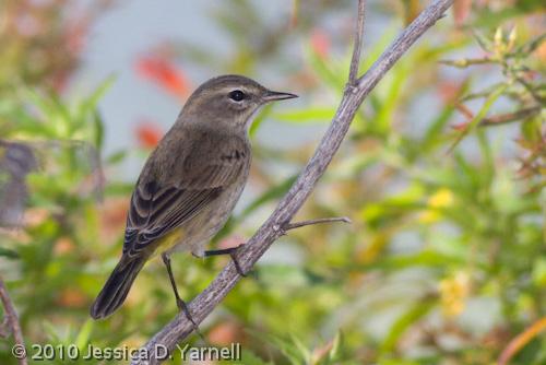 Palm Warbler (flash)