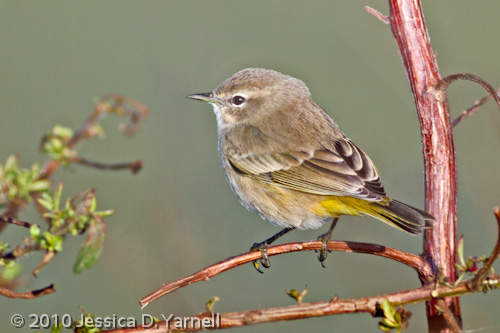 Palm Warblers