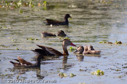 Baby Black-Bellied Whistling Ducks