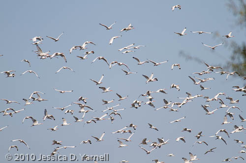 White Ibis fill the skies