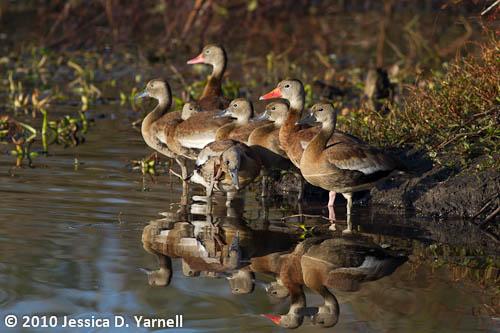 Black-Bellied Whistling Ducks