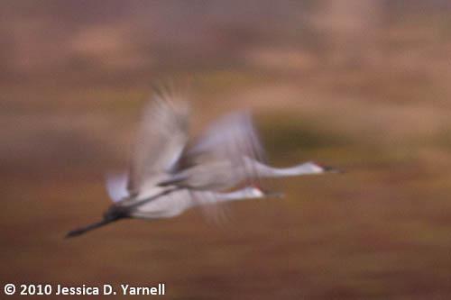 Sandhill Cranes in flight (Blur)