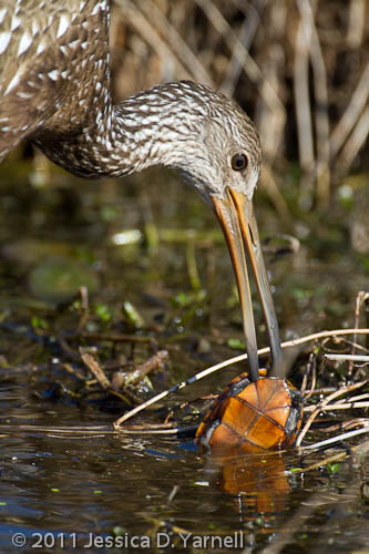 Limpkin with turtle