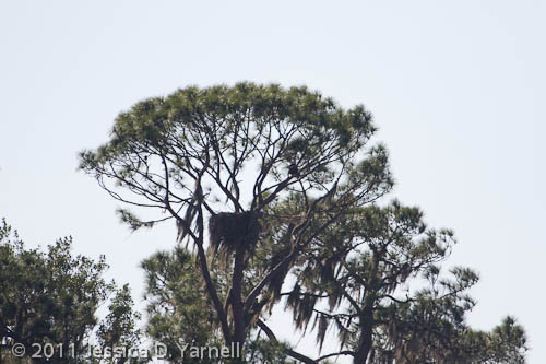 Eagle Roost nest
