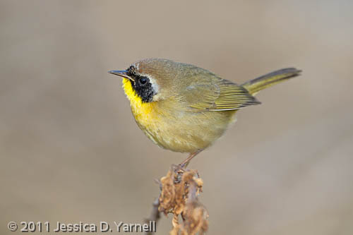 Common Yellowthroat, a.k.a. Zorro!