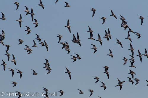 Least Sandpiper flock