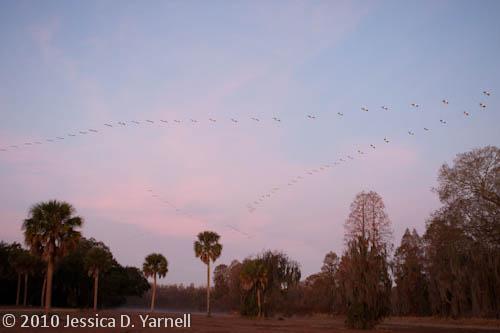 Lines of Pelicans