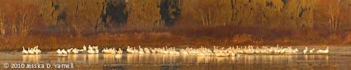 American White Pelican panorama