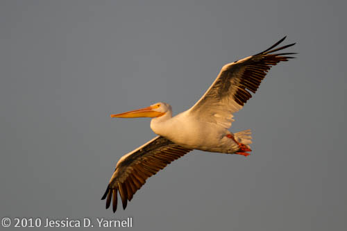 American White Pelican (20min after sunrise)