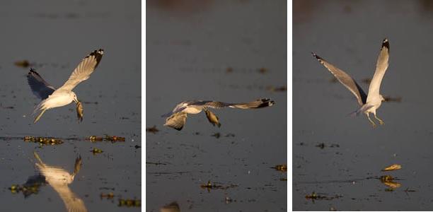 Ring-Billed Gull loses fish