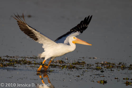 American White Pelican take-off