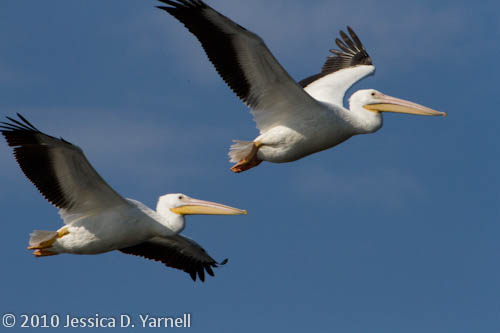 American White Pelicans (no fleas on these two!)