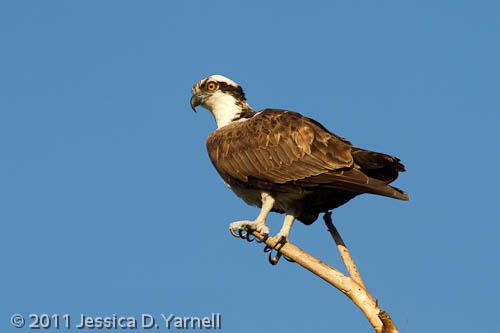 Obstinate Osprey