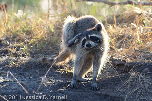 Adult Racoon