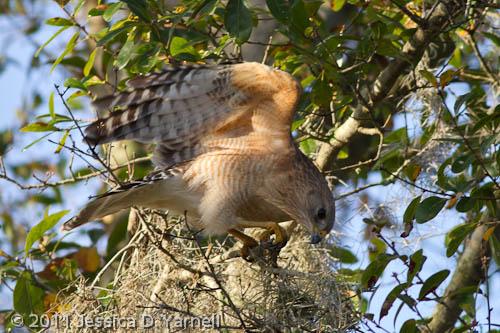 Red-Shouldered Hawk building nest