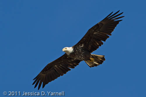 Not-so-Juvenile Eagle