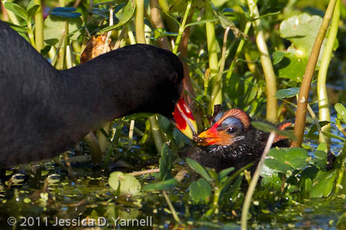 Common Moorhen baby