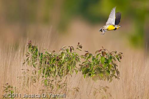 Eastern Meadowlark Fly Off