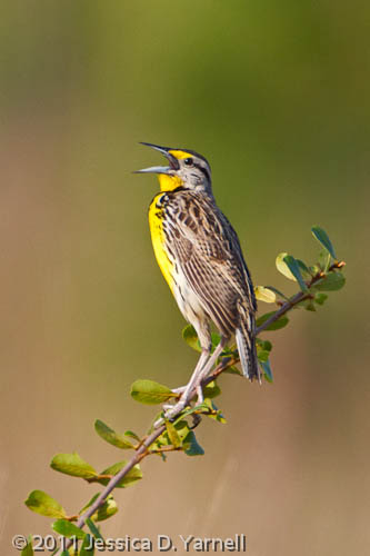 Eastern Meadowlark Singing