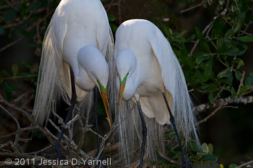 Great Egret Nest-Building