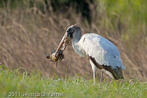 Wood Stork with Breakfast