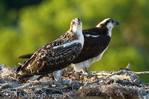 Mom and Baby Osprey