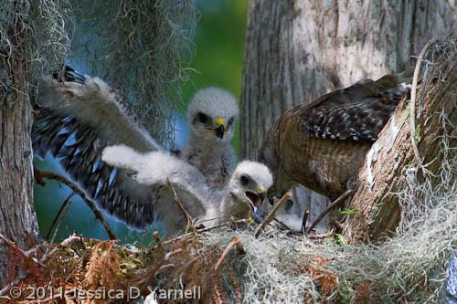 Red-Shouldered Hawk chicks