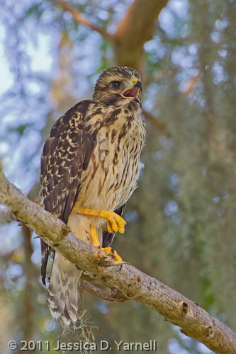 Hawk Baby – The Big One
