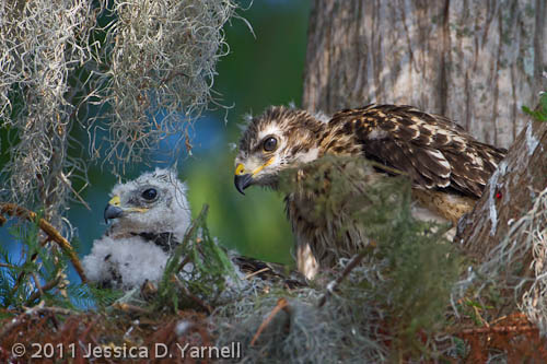 Red-Shouldered Hawk Nest