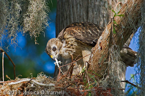 Red-Shouldered Hawk Baby