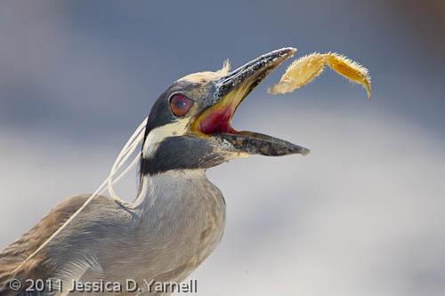 Yellow-Crowned Night Heron – Crab Leg snack