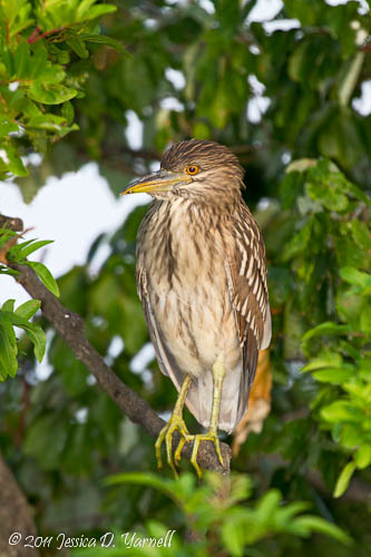 Black-Crowned Night Heron juvenile
