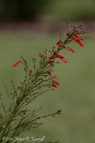 Firecracker Plant - there WAS a hummer here