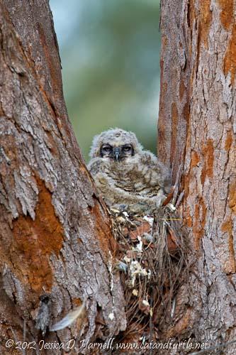 Great Horned Owlet