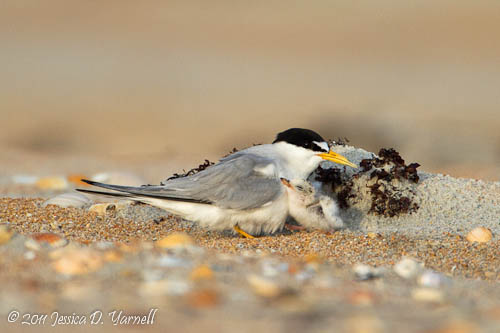 Least Tern parent and chick