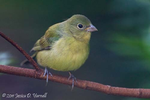 Female Painted Bunting, taken last year in my backyard