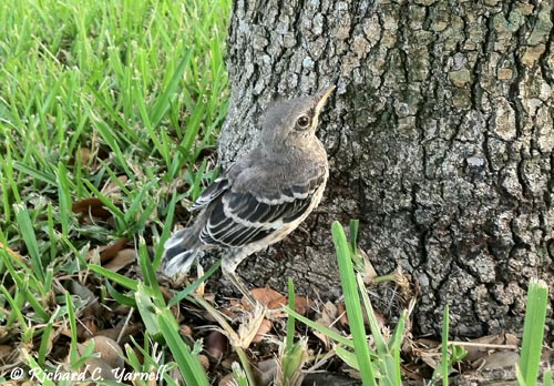 Baby Mockingbird