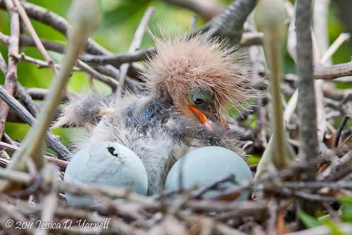Tricolored Heron nest