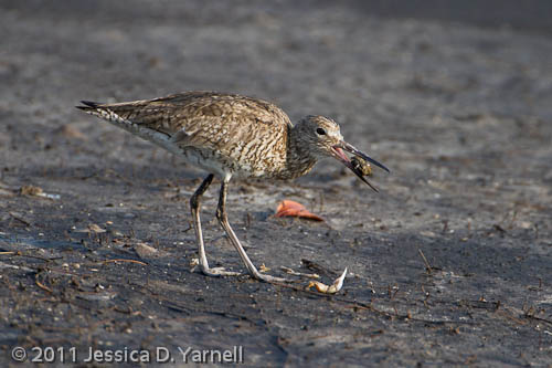 Willet eating crab